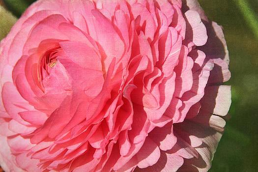 Silky Pink Begonia by Denyse Duhaime