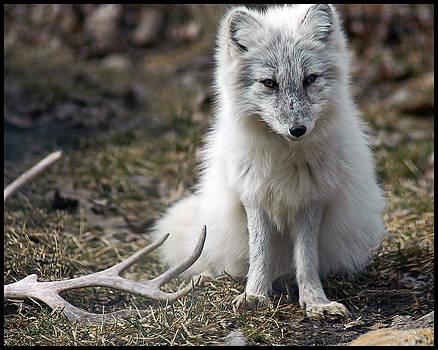 Silver Arctic Fox Pup by Gene Tatroe