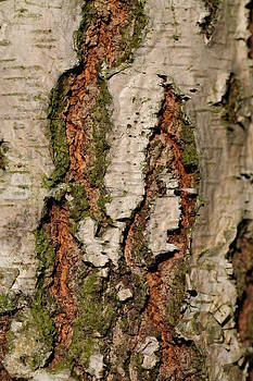 Mark Severn - silver birch