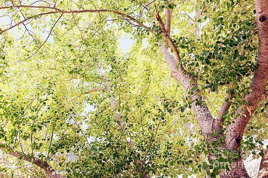 Tim Hester - Silver Birch Tree