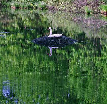Silver Creek Swan by James Rasmusson