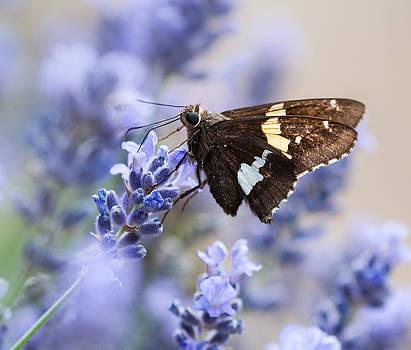 Lara Ellis - Silver spotted Skipper on Lavender