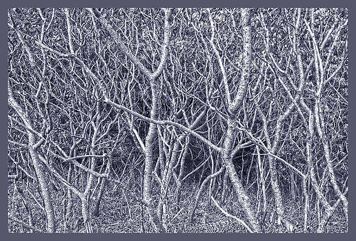 Silver Trees by Roy Inman