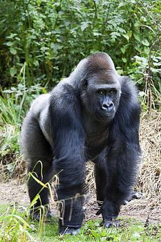 Silverback Gorilla by Gillian Dernie