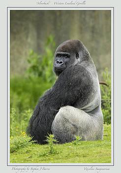 Stephen Barrie - Silverback Gorilla Light Border