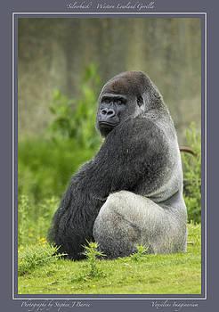 Stephen Barrie - Silverback Gorilla with border