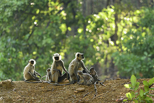 Simian Family by Fotosas Photography