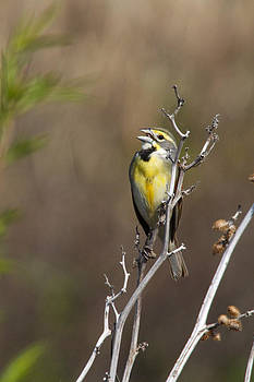Singing Dickcissel by Jill Bell
