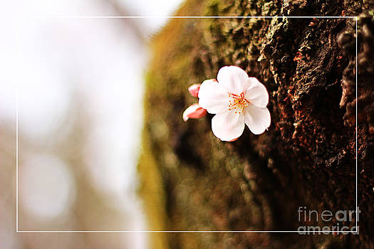 Beverly Claire Kaiya - Single Cherry Blossom Blooming from Tree Trunk