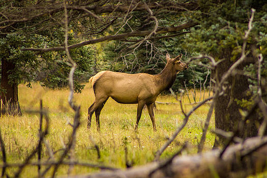 Single Cow Elk by Kim Baker