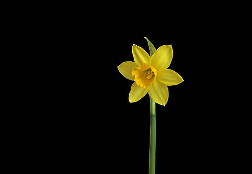Single daffodil by Christopher Rowlands