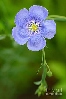 Steve Augustin - Single Flower Blue Flax