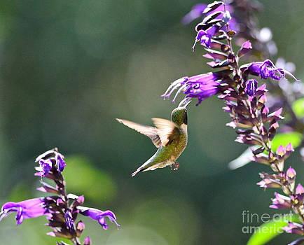 Wayne Nielsen - Single Hummingbird Gazes at Double Blooms