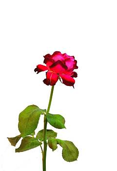 Ion vincent DAnu - Single Magenta Red Rose Isolated