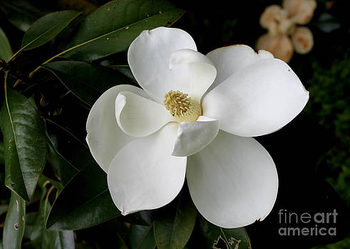 Single Magnolia II by Michelle Wolff