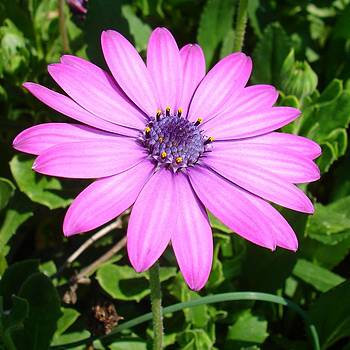 Tracey Harrington-Simpson - Single Pink African Daisy Against Green Foliage