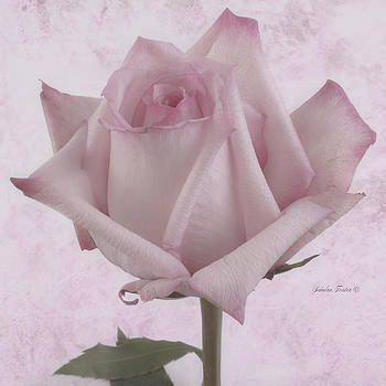 Sandra Foster - Single Pink Rose Blossom
