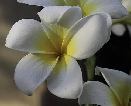 Bonnie Davidson - Single Plumeria