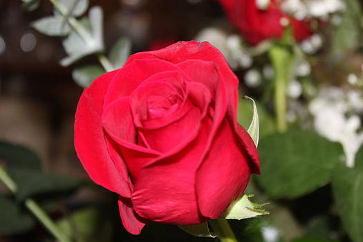 Single Red Rose by Michelle Lawrence
