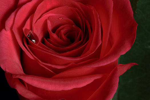 Single Red Rose by Wayne Molyneux