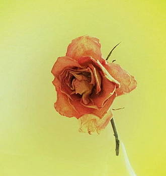 Single Rose by Andre Bormanis
