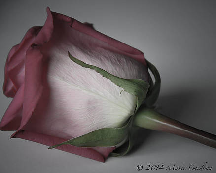 Single Rose by Marie  Cardona
