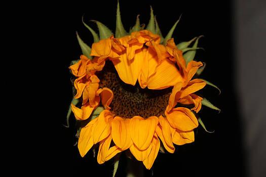 Single Sunflower by Renee Braun
