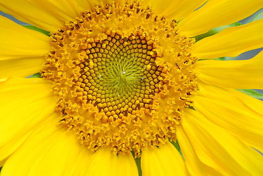 Single Sunflower by Wanda Jesfield