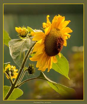 Single Sunflower  by Yvon van der Wijk
