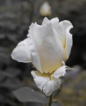 Single white rose  by Diana Dimitrova