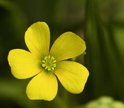 Single Yellow Flower by John Holloway