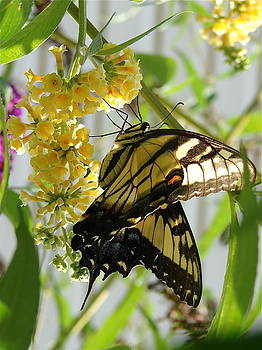 Sipping Nectar by Cynthia Templin
