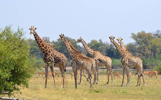 Seven Stately Giraffes by Tom Wurl