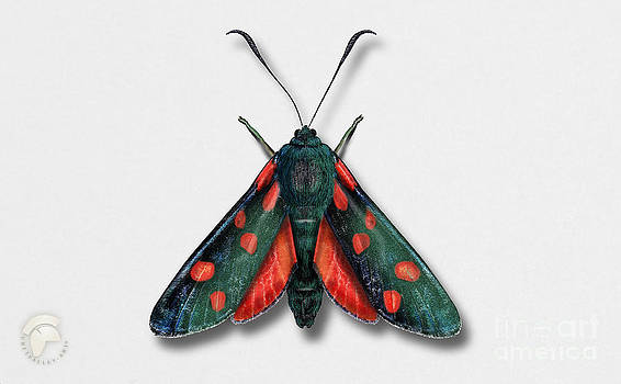 Six Spot Burnet Butterfly - Zygaena filipendulae naturalistic painting - Nettersheim Eifel by Urft Valley Art