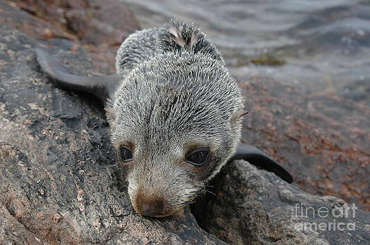 Skinny Fur Seal by Crystal Beckmann