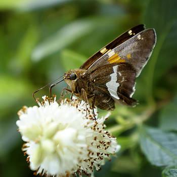 Skipper Moth by Darlene Kwiatkowski