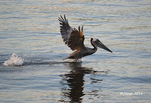 Skipping Pelican by Jill Baum