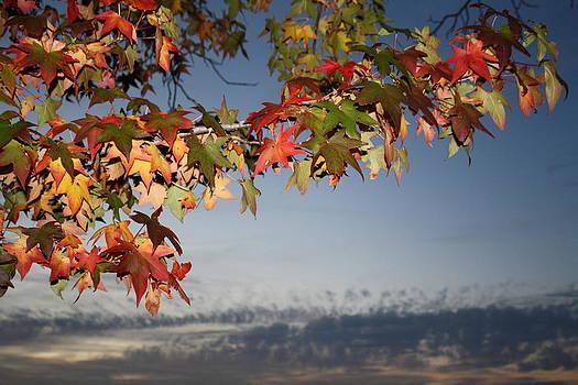 Sky Leaves by Daniel Rooney