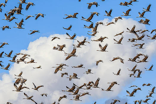 Skyful of Cranes by Beverly Parks