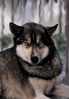 Kae Cheatham - sled dog resting