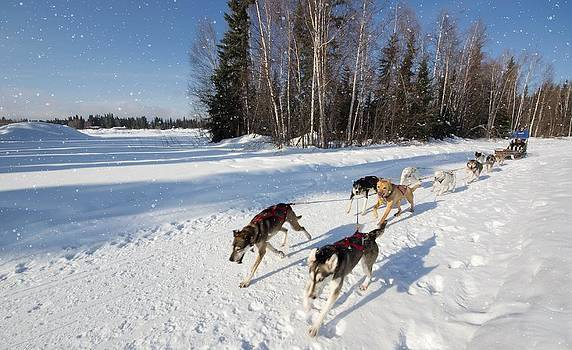 Mike Shaw - Sled Dogs