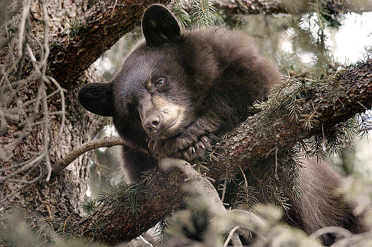 Paul Conrad - Sleep Bear