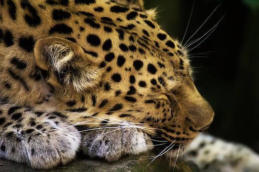 Sleeping Amur leopard by Fiona Messenger