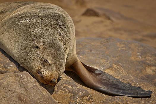 Paul W Sharpe Aka Wizard of Wonders - Sleeping Cape Fur Seal
