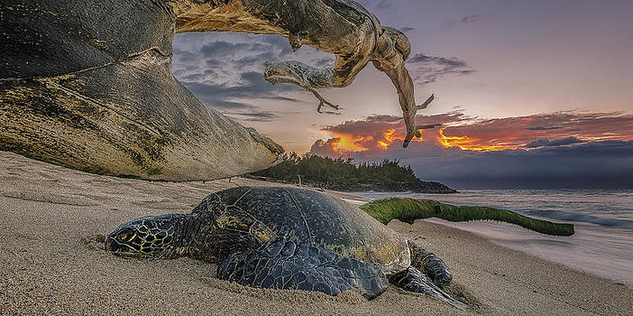 Sleeping Honu by Hawaii  Fine Art Photography