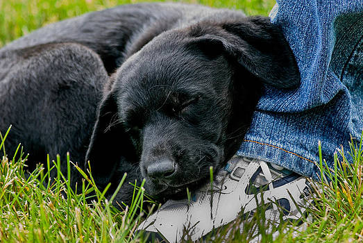 Sleeping Labrador Puppy by Scott Slattery