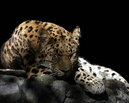 Erin Tucker - Sleeping Leopard