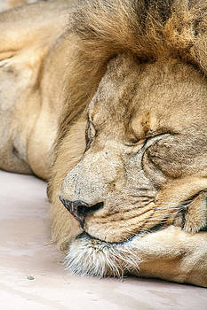 Sleeping Lion by Dawn Romine