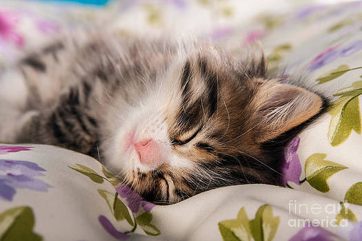 Sleeping Little Cat Kitten by Doreen Zorn