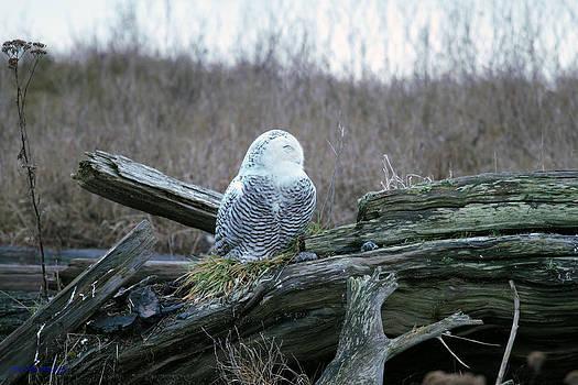 Sleeping Snowy Owl by Ed Nicholles